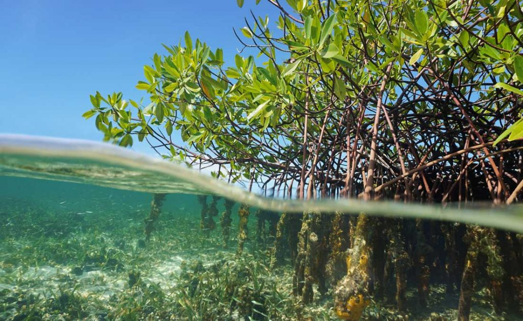 Mangrove trees roots, Rhizophora mangle, above and below the water in the Caribbean sea, Panama, Central America