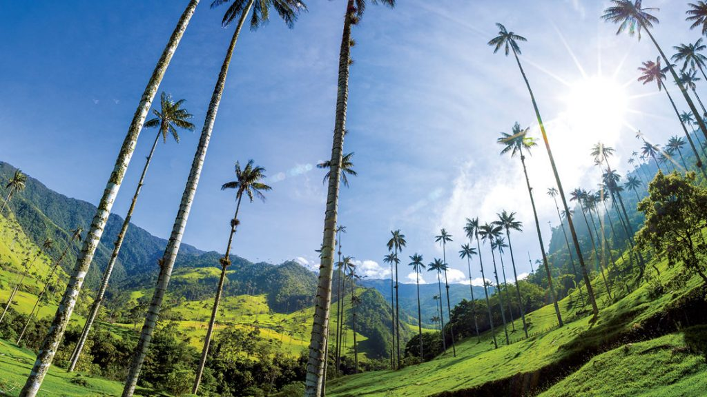 Cocora valley near Salento with enchanting landscape of pines and eucalyptus