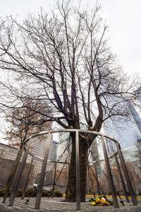 Survivor Tree That Withstood 9.11. Attacks on WTC Memorial Plaza, National September 11 Memorial, Manhattan, New York, United States of America.