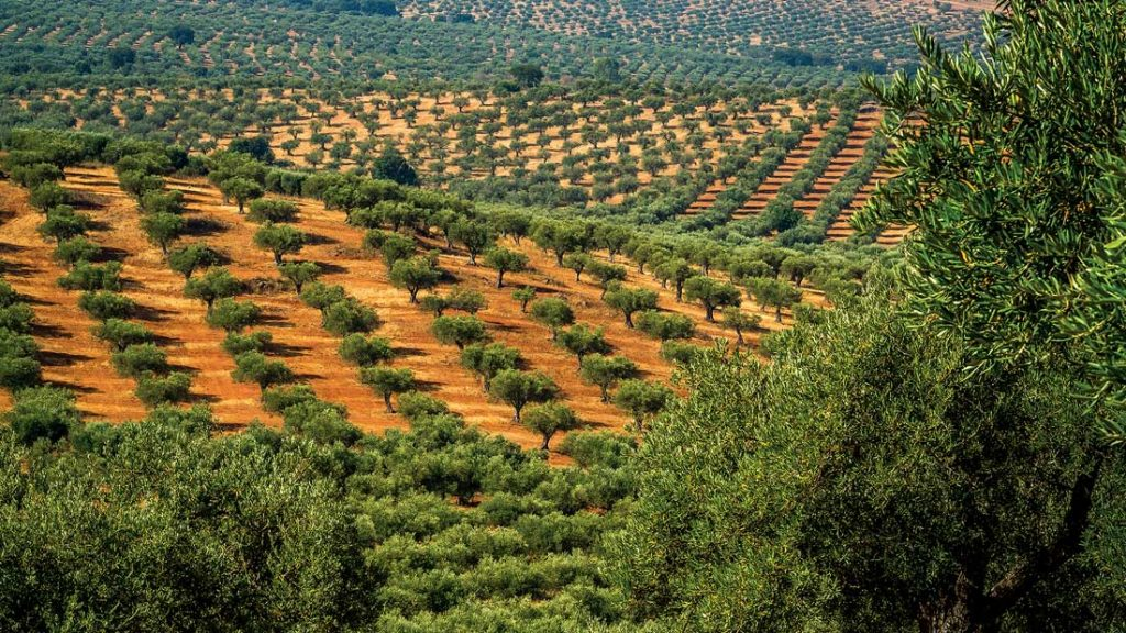 Hectares of olive groves