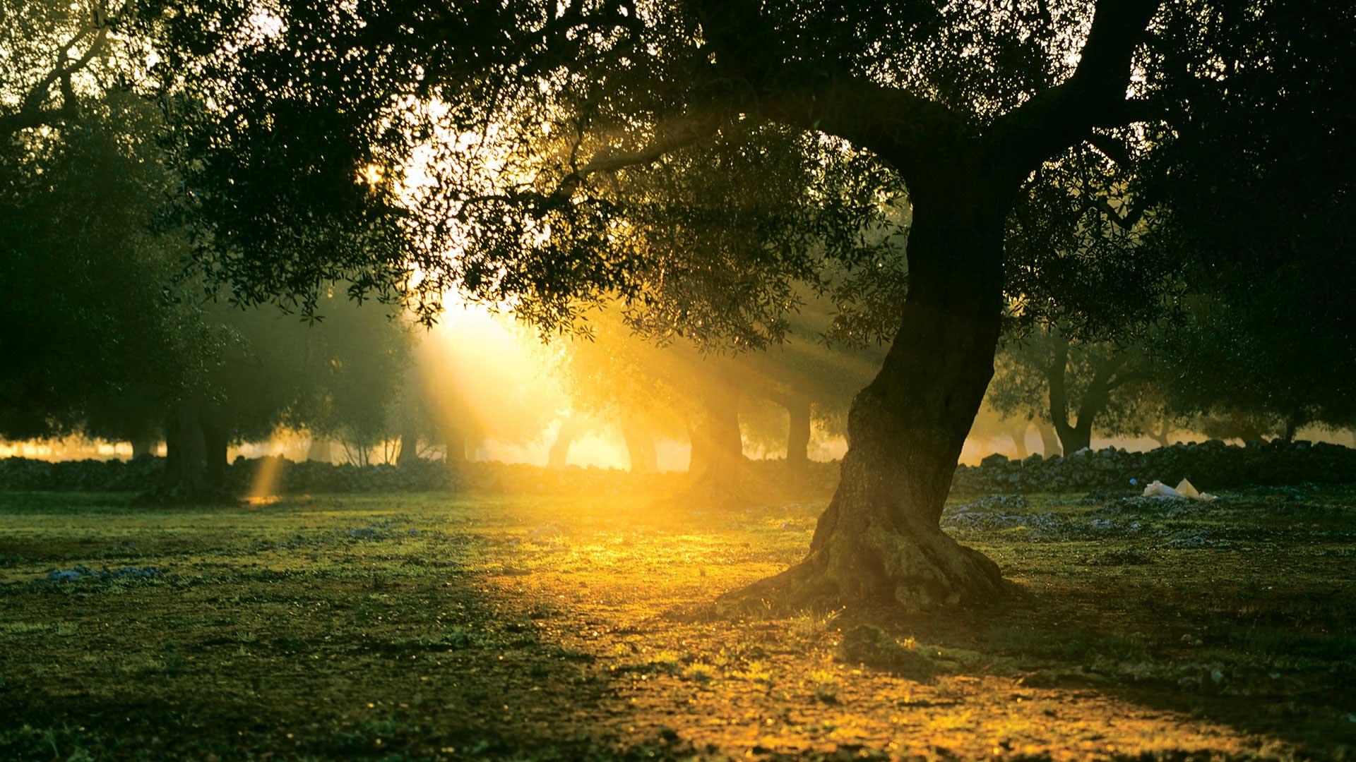 Olive Tree in sunrise