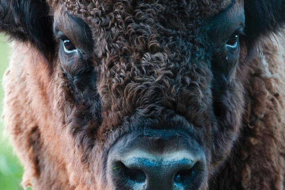 European Bison (Bison bonasus) face, Lelystad, Netherlands