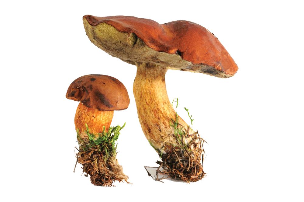 Bay Bolete mushroom (Boletus badius)