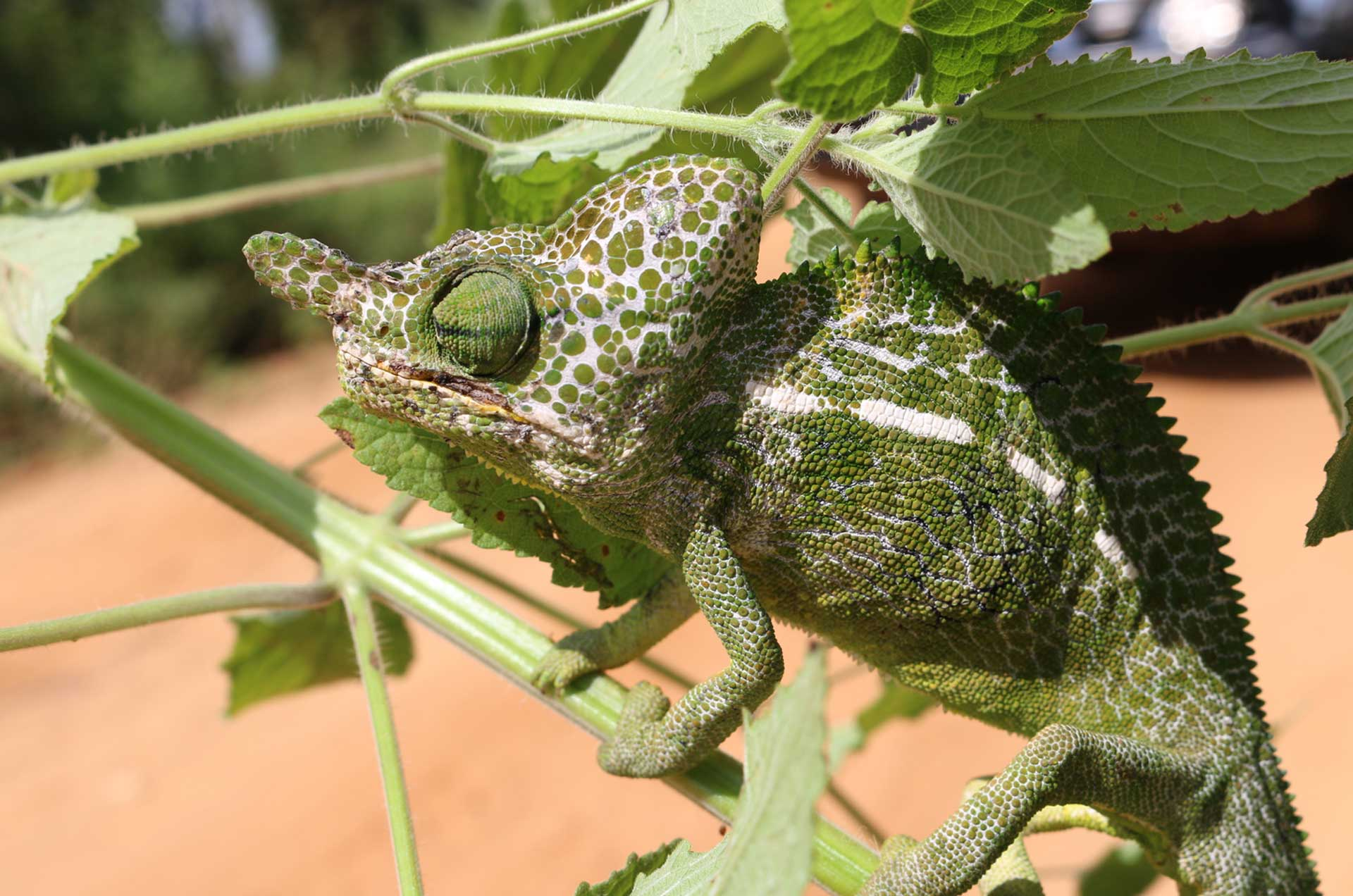 Labord's chameleon of Madagascar