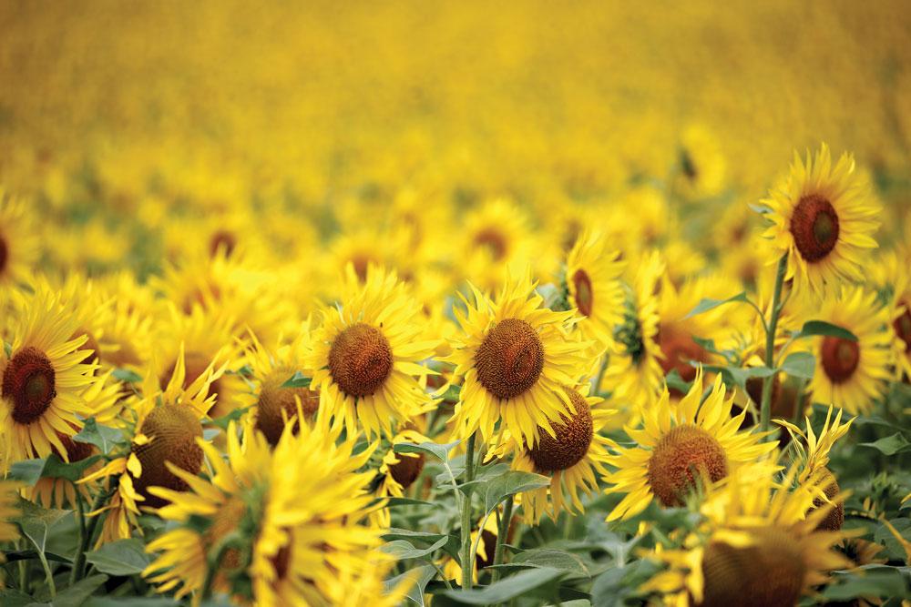 sunflowers field close up