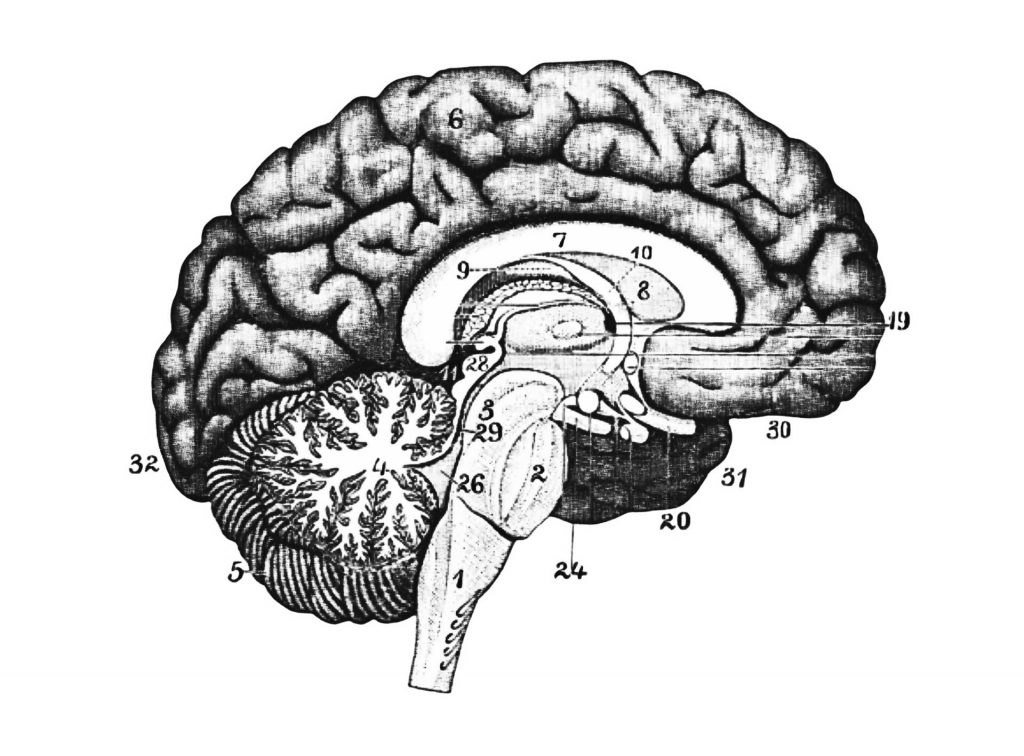 An illustration of brain sections.