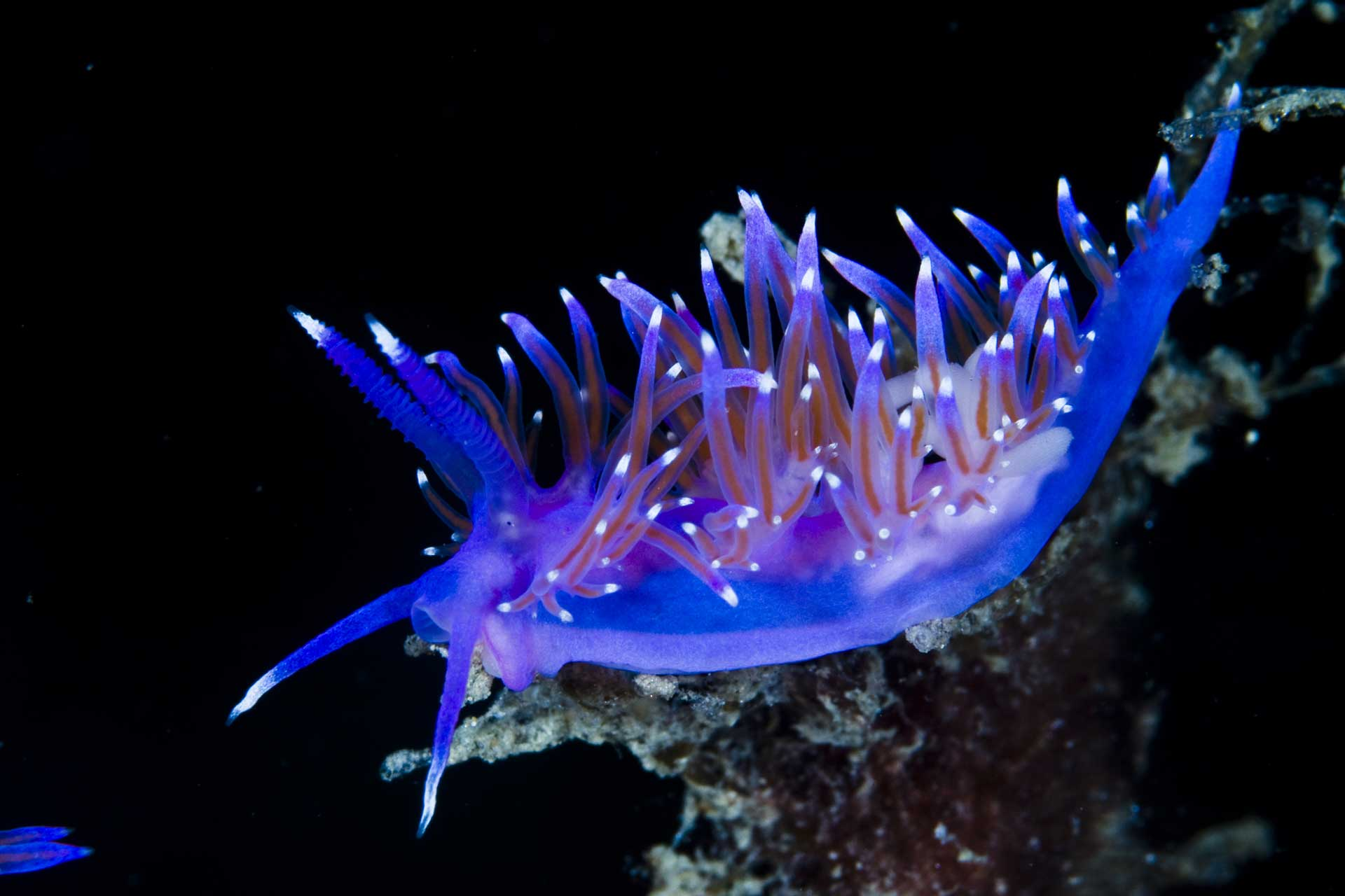 A beautifully colored nudibranch nice highlights on black background.