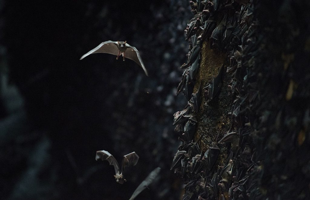 mon-fort Bats. Colony of about 1.5 million bats Sa-mal Island, Philippines