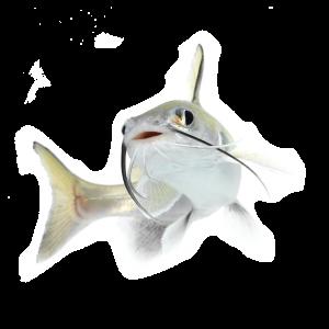 Tete sea catfish (Hexanematichthys seemanni)