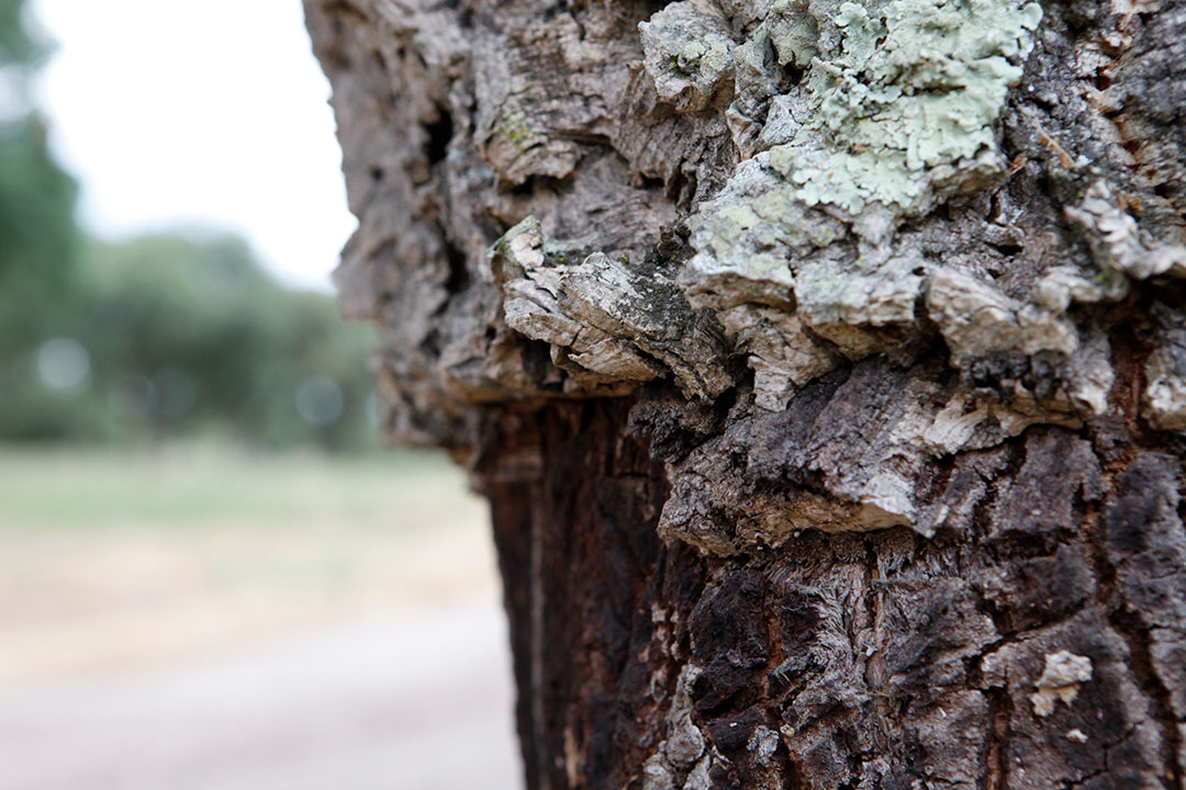 Cork oak trees have an average lifespan of approximately200 years and can be harvested 15 times.