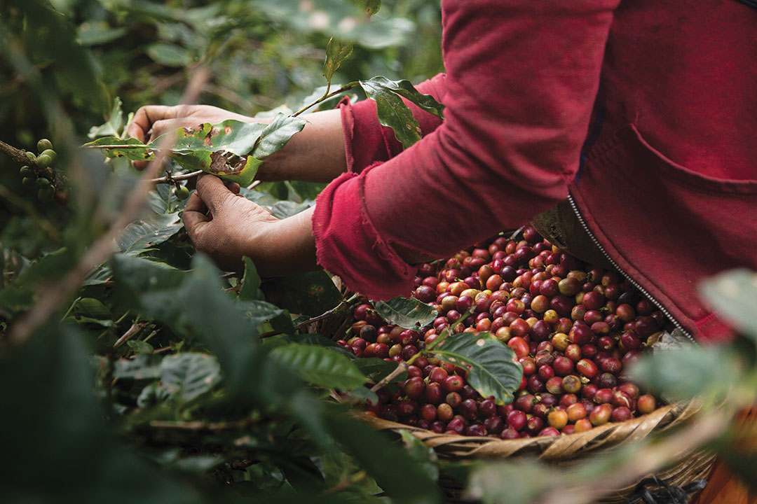 A coffee picker harvests ripe beans on a coffee farm in Matagalpa, Nicaragua.
