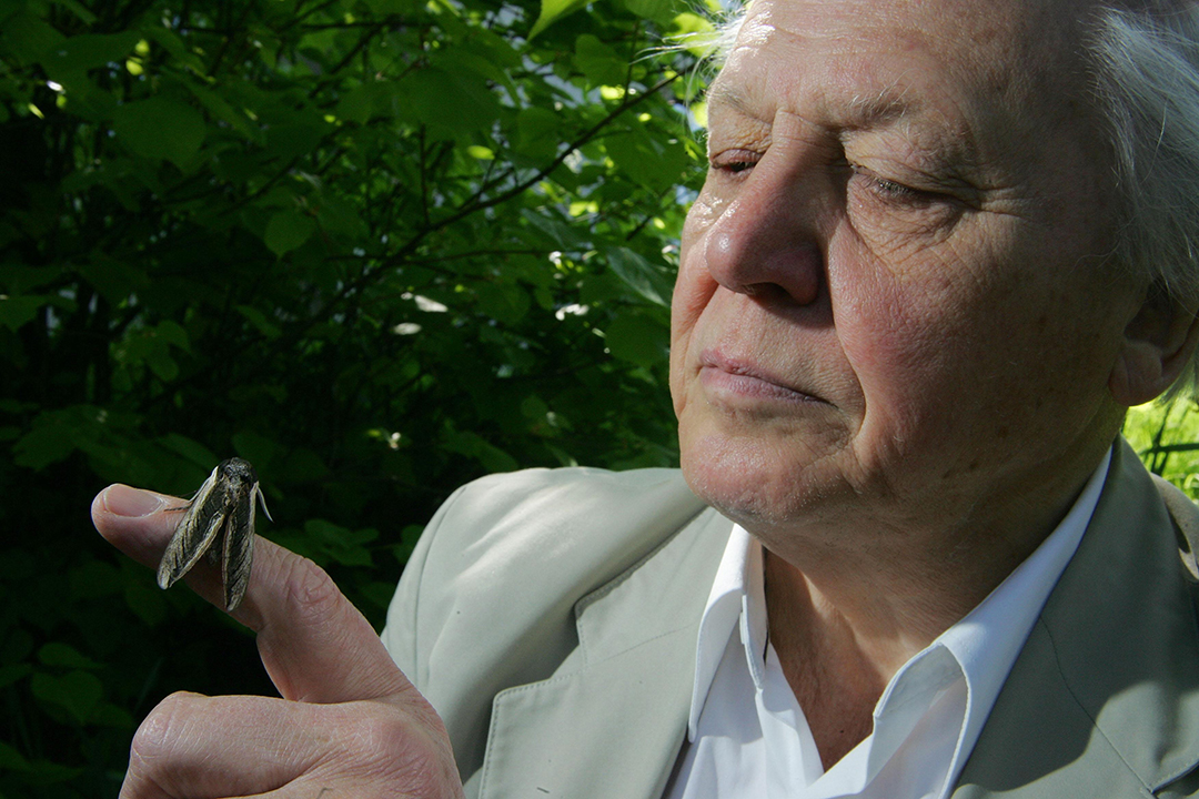David Attenborough, one of the world's most respected naturalists, pioneered programmes that changed our common perspective of the surrounding environment. In 1998 he became President of the Butterfly Conservation, helping to spread the word on the importance of butterflies and moths.