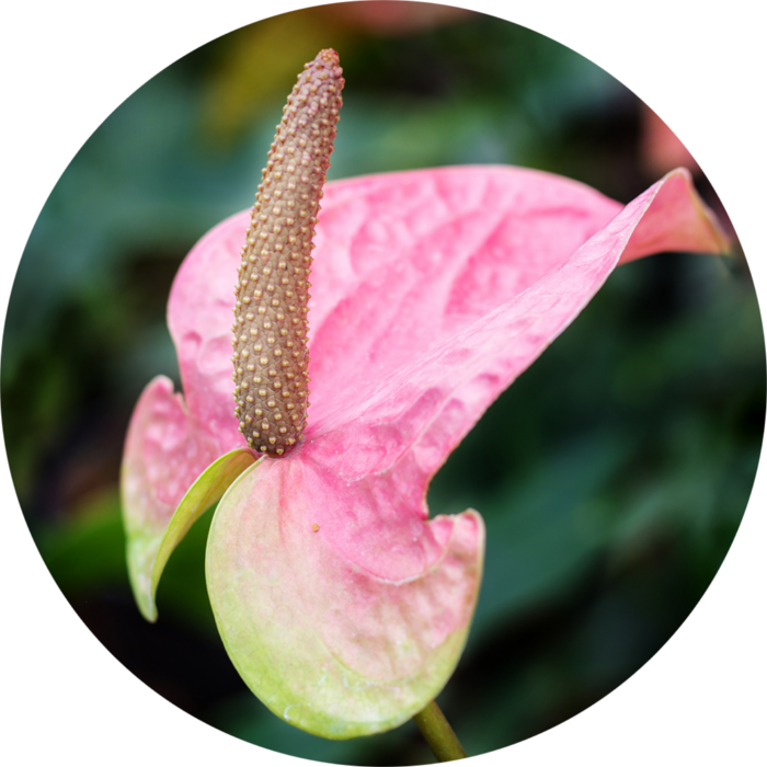 """Anthurium andreanum Bright Red (Miami Beauty) """"Red Champion"""", Common Name: Flamingo flower ; Flamingo lily ; Oilcloth flower; Painter's palette."""
