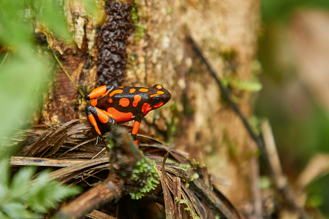Harlequin Poison Dart Frog, red orange spots, endemic to Choco, Colombia, Niqui region