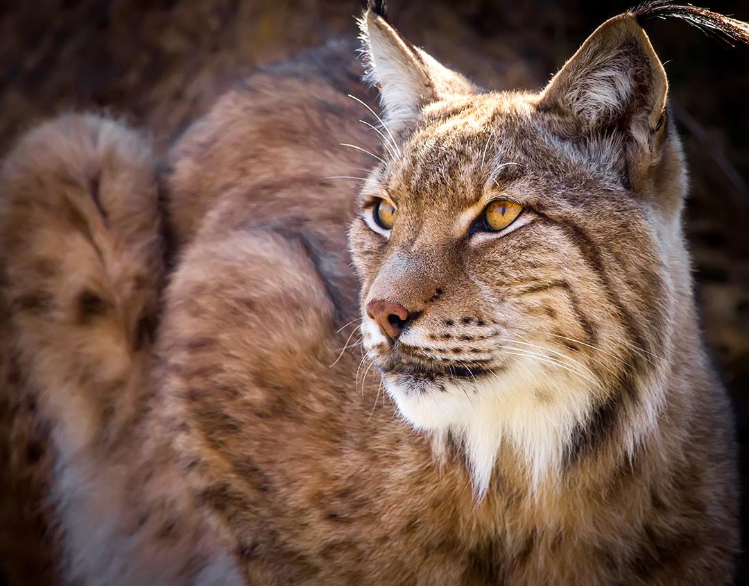 Portrait of a wild iberian lynx