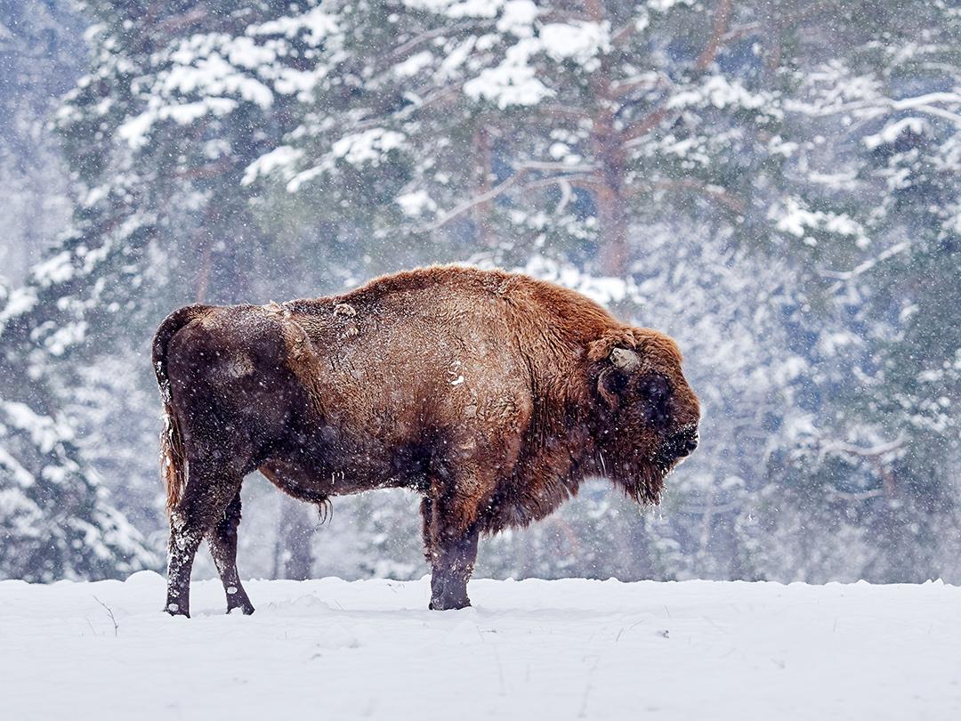 European bison in natural habitat in winter