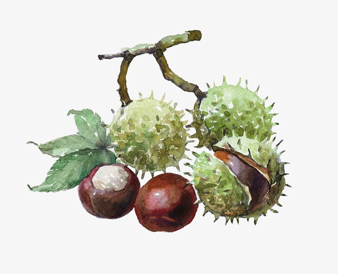 Chestnut illustration
