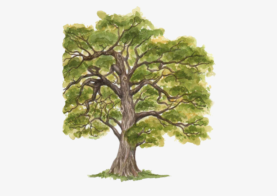 European Oak illustration