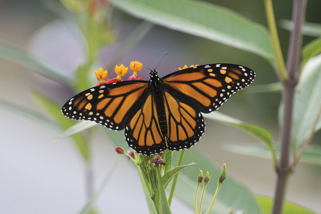 Photography of Monarch Butterfly