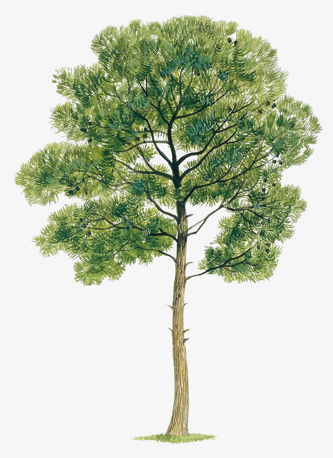 Pine tree illustration